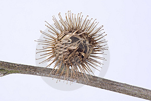 Thistle Seed Head Stock Photography - Image: 8775572