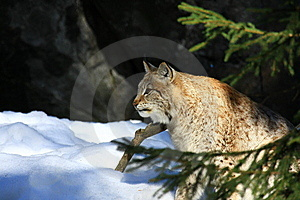 Lynx Stock Photography - Image: 8776352