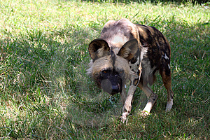 Wild Dog Royalty Free Stock Photography - Image: 8777377