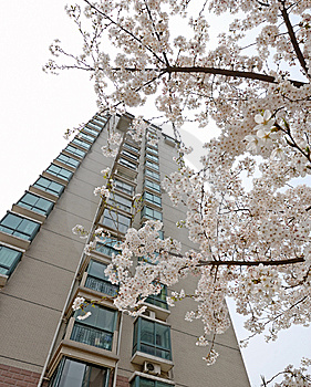 Storied Building And Cherry Blossom Royalty Free Stock Images - Image: 8780229