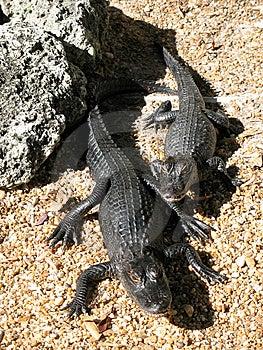 Alligators Royalty Free Stock Photo - Image: 8784155