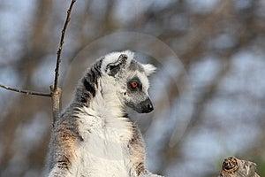 Lemur Catta Royalty Free Stock Photography - Image: 8786247