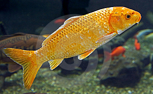 Goldfish 2 Royalty Free Stock Image - Image: 8787996