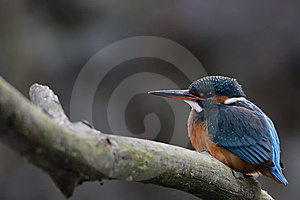 Kingfisher Female Stock Photo - Image: 8788040
