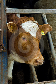 Cow Portrait Stock Image - Image: 8788081