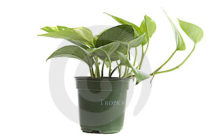 Tropical Household Plant Royalty Free Stock Image - Image: 8788216