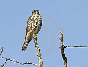 Perched Falcon Stock Photo - Image: 8788980