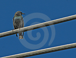 European Starling Royalty Free Stock Photos - Image: 8788988