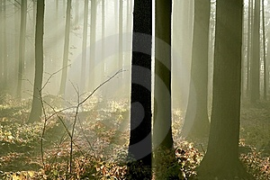 Misty Forest With Early Morning Sun Rays Stock Photos - Image: 8789113
