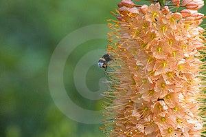 Flying Bumble Bee Stock Photography - Image: 8790032