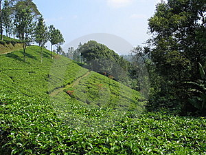 Tea Plantation - Indonesia Royalty Free Stock Images - Image: 8790309