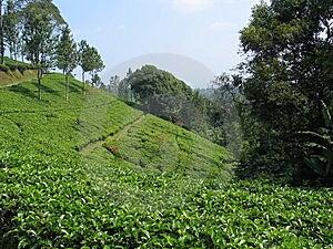 Indonesia Plantaci Herbata Obrazy Royalty Free - Obraz: 8790309
