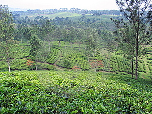 Tea Plantation - Indonesia Royalty Free Stock Image - Image: 8790336