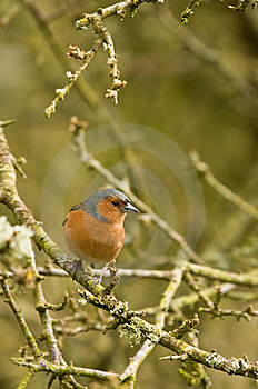 Chaffinch On Branch Royalty Free Stock Photo - Image: 8792565