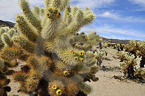 Cholla Garden In National Park Royalty Free Stock Photography - Image: 8795177