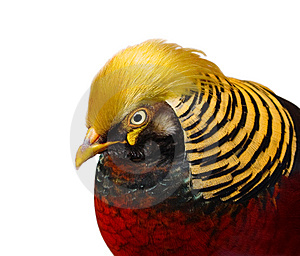 Golden Pheasant Closeup Isolated Stock Photography - Image: 8796992