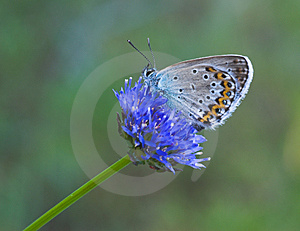 Blue butterfly on blue flower Royalty Free Stock Photography