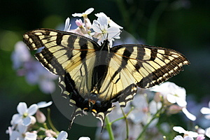 Monarch Butterfly Stock Image - Image: 889251