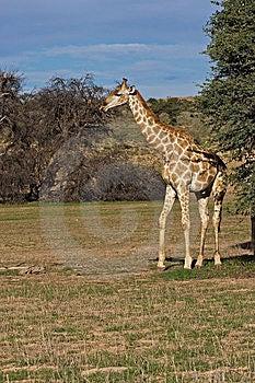 Giraffe Stock Photos - Image: 8801923