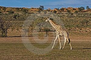 Giraffe Stock Image - Image: 8801981