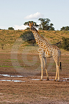 Giraffe Royalty Free Stock Images - Image: 8802089