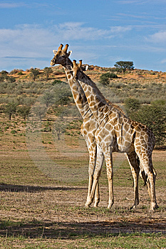Giraffe Stock Image - Image: 8802191