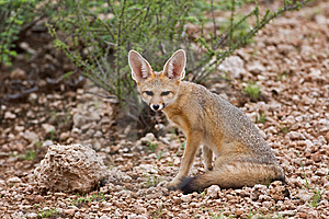 Cape Fox Royalty Free Stock Photography - Image: 8802597