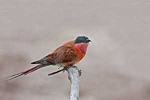 Carmine Bee-eater Royalty Free Stock Photo - Image: 8802615