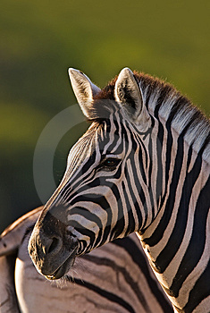 Zebra Stock Photos - Image: 8802653
