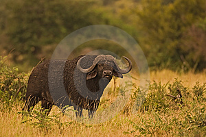 Buffalo Royalty Free Stock Images - Image: 8803079