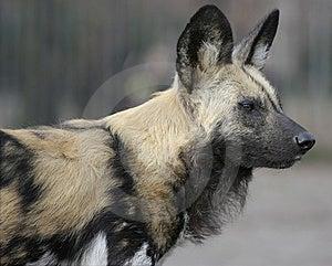 Hyena Royalty Free Stock Photos - Image: 8803198