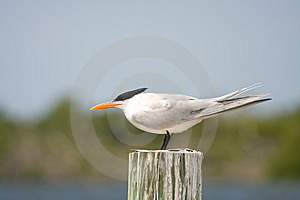 An Adult Royal Tern Faces Into The Wind Stock Photo - Image: 8803560