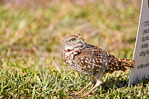 A Burrowing Owl Watches A Bald Eagle Flying Past Stock Photography - Image: 8803612