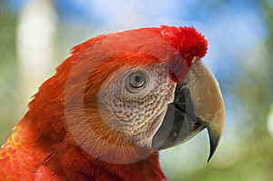 Scarlet Macaw Stock Photography - Image: 8804322
