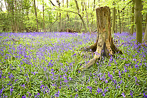 Bluebell Wood Royalty Free Stock Image - Image: 8808476