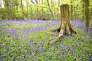 Bluebell Wood Royalty Free Stock Image - Image: 8808476