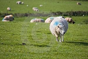 Sheep Stock Photo - Image: 8808600