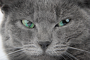 Grey Cat Royalty Free Stock Photography - Image: 8809467