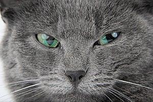 Grey Cat Royalty Free Stock Photography - Image: 8809467