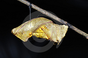 Butterfly Pupa - Golden Bird-Wing Royalty Free Stock Images - Image: 8809929