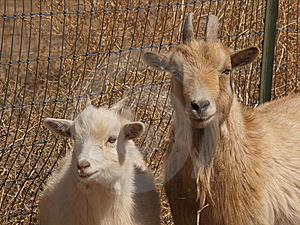 Two Goats Royalty Free Stock Photo - Image: 8819745
