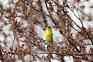 American Goldfinch Singing Stock Image - Image: 8821701