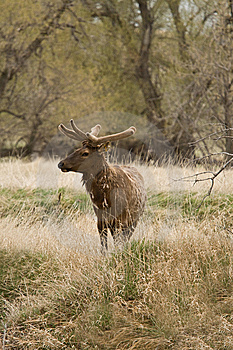 Bull Elk In Spring Velvet Royalty Free Stock Photo - Image: 8821715