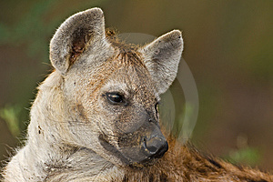 Hyaena Stock Photo - Image: 8822560