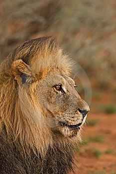 Lion Royalty Free Stock Image - Image: 8822746