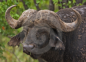 Buffalo Royalty Free Stock Photos - Image: 8822798