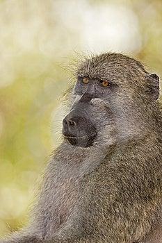 Baboon Stock Photo - Image: 8822930