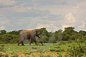 African Elephant Stock Images - Image: 8822974