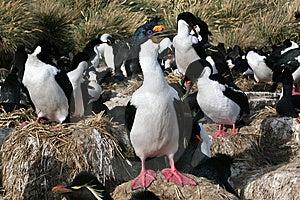 Colônia Dos Cormorants Do Rei Imagem de Stock Royalty Free - Imagem: 8823886