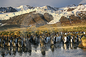 King Penguins Colony Royalty Free Stock Photography - Image: 8823957